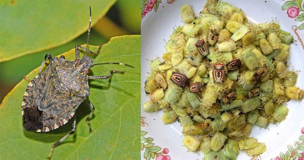 stink bugs made into dish to eat