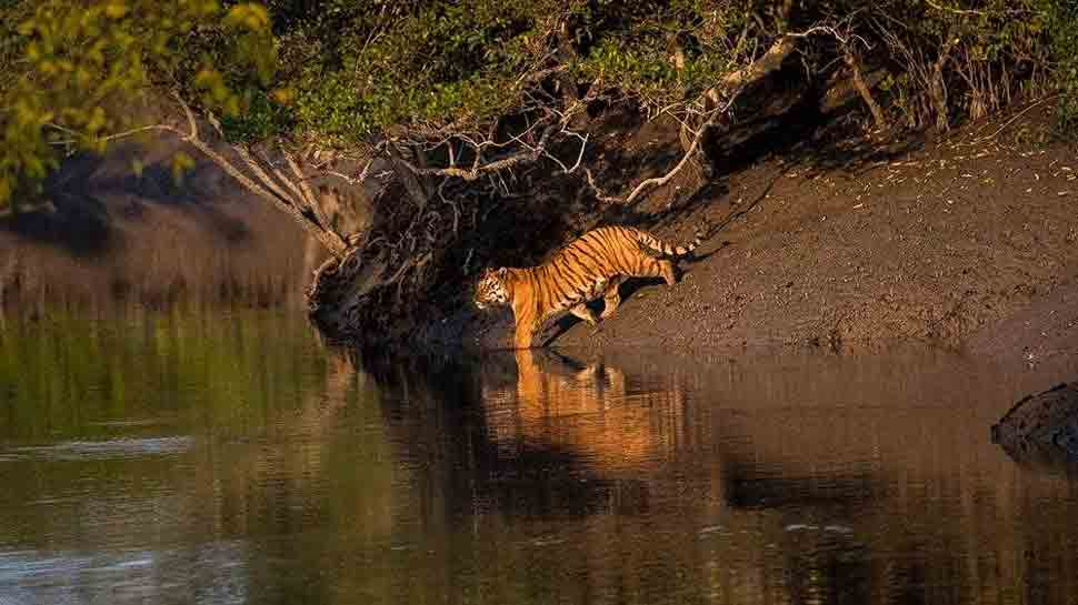 tiger near water at the Sunderbans