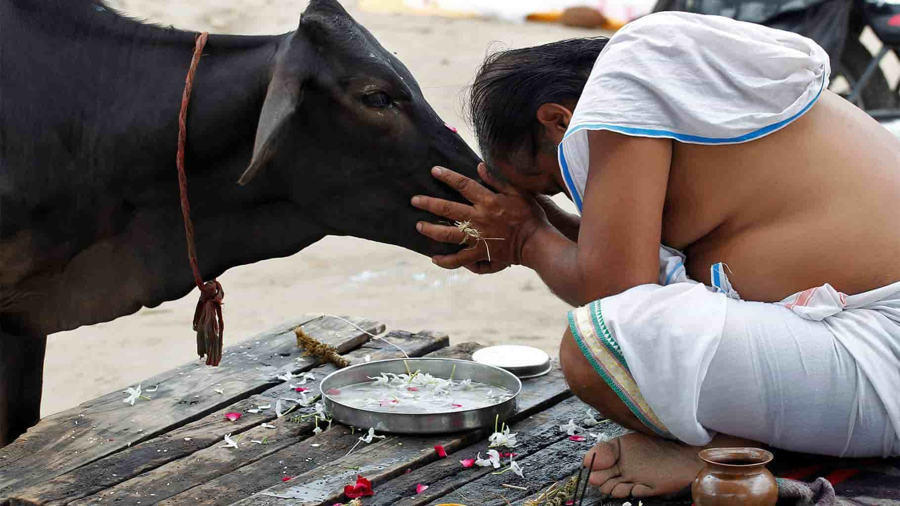 worshiping cow in india